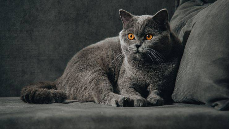 british shorthair curiosità (1)