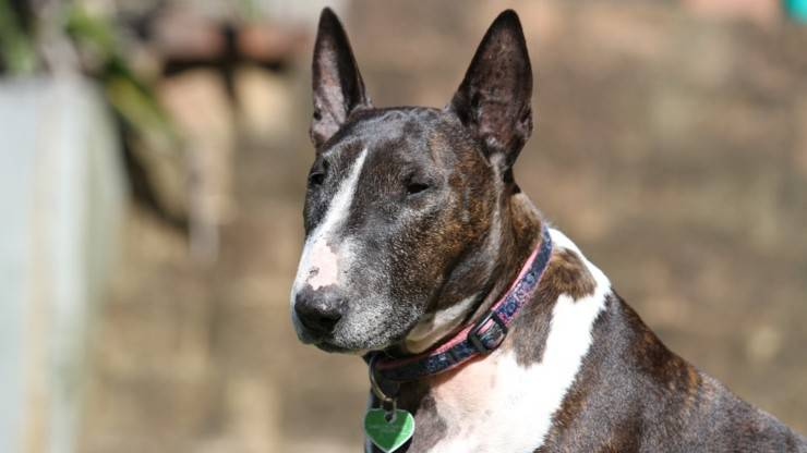 cane bull terrier cura pelo toelettatura