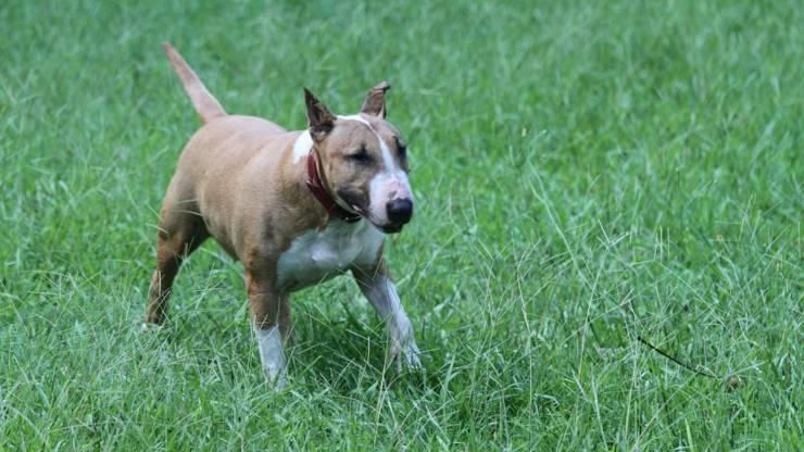 cane bull terrier curiosità origini cenni storici