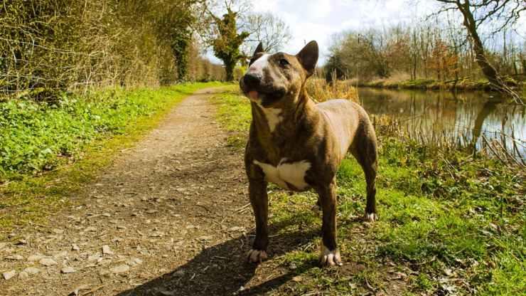 cane bull terrier alimentazione mangiare dieta