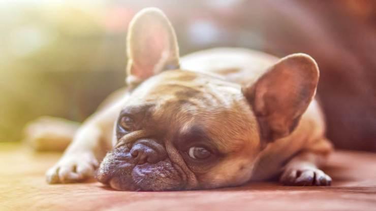 Bulldog triste (Foto Pixabay)