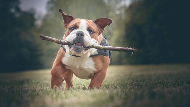 bulldog inglese english razze cani compatibili