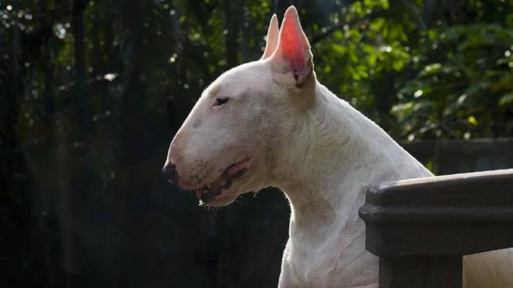 cane bull terrier malattie salute problemi cure predisposizioni