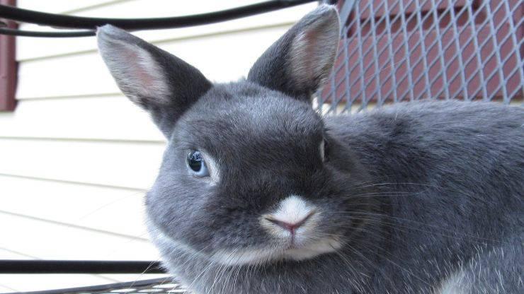 Infarto nel coniglio