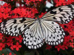 ali farfalle colore colori ala farfalla