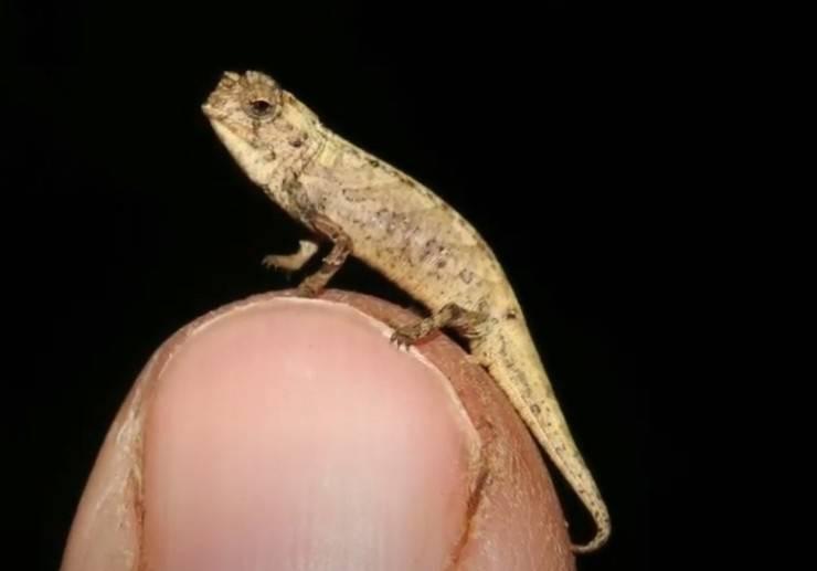 rettile piccolo mondo maschio camaleonte