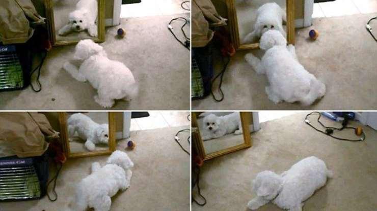 cane agitato allo specchio