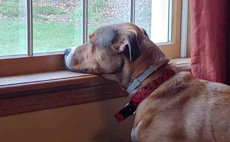 cane alla finestra vuole uscire per i bisogni