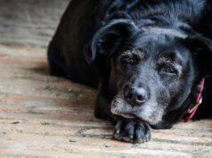 cane anziano con steatite