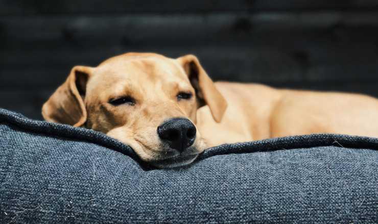 cane che dorme occhi semi aperti