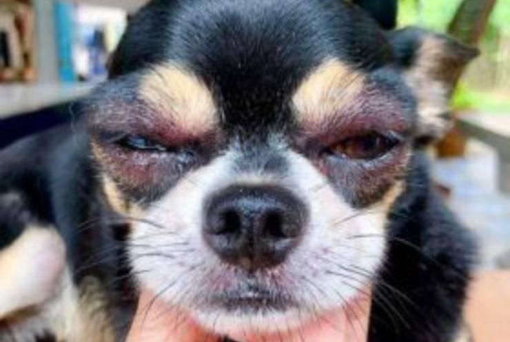 chien aux yeux gonflés
