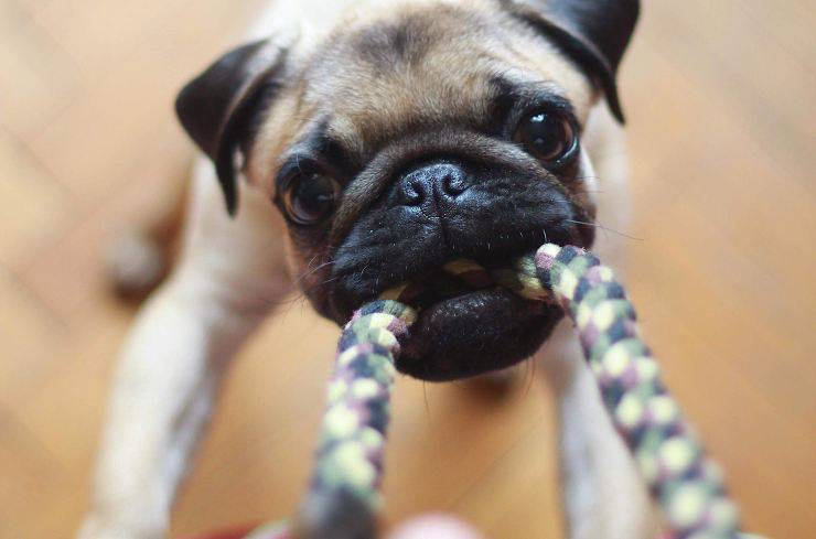 cane disobbediente