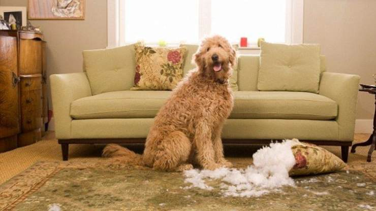 cane distrugge cuscino