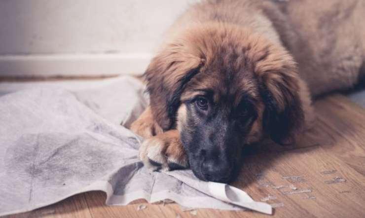 cane fa cacca in casa