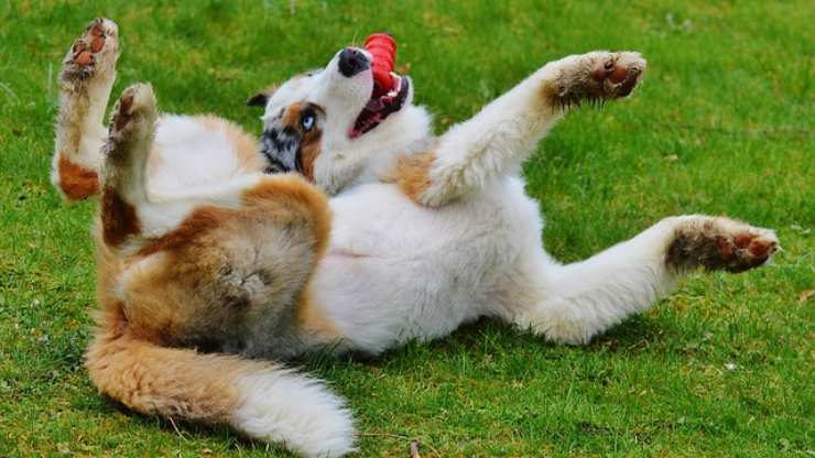 cane gioco rosso