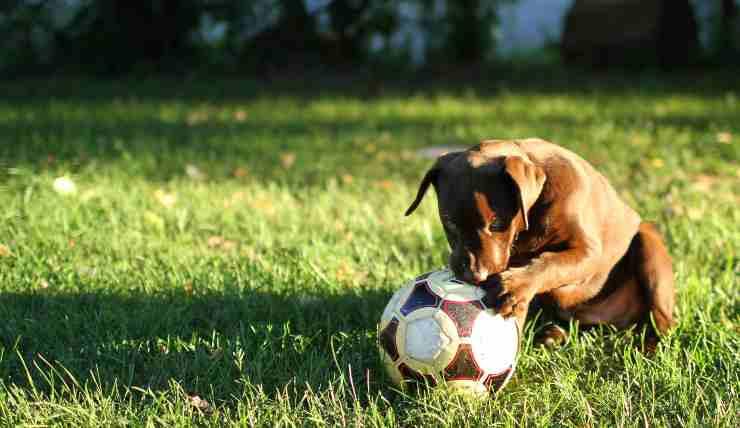 cane sportivo con palla
