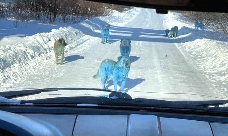 Branco di cani blu