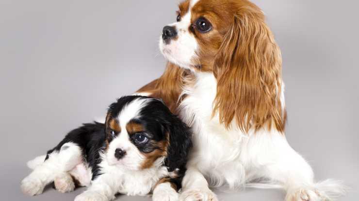 cani compatibili con cavalier king