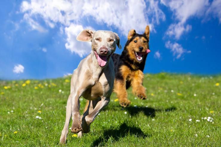 razze di cani più energici