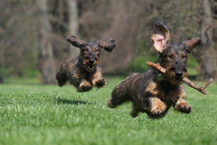 razze di cani energici
