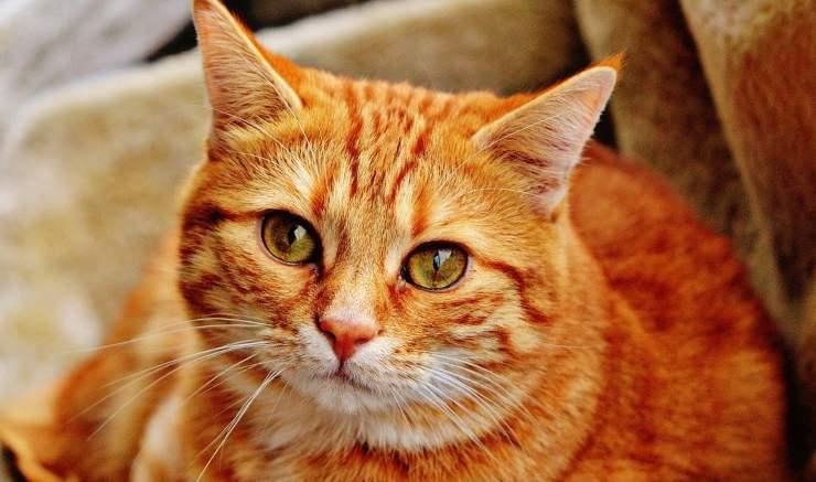 Lo sguardo del gatto (Foto Pixabay)