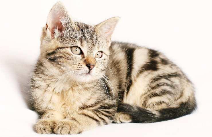 Gattina (Foto Pixabay)