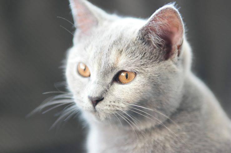 I gatti e le caratteristiche