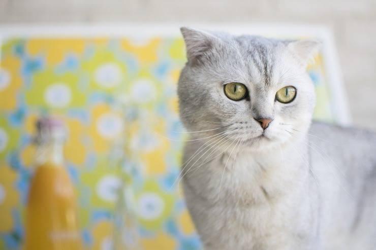I gatti più ricchi del mondo: gli Scottish Fold di Taylor Swift