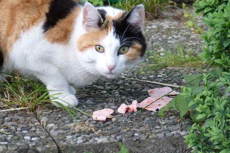 Il gatto può mangiare la mortadella