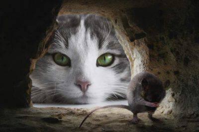 Il gatto ama cacciare topi
