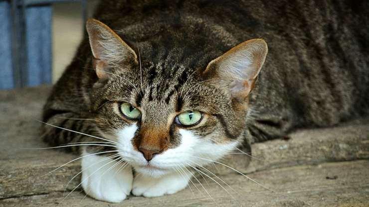 Lo sguardo della gattina (Foto Pixabay)