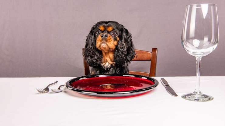 cavalier king cibo
