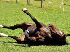 Perché il cavallo si rotola