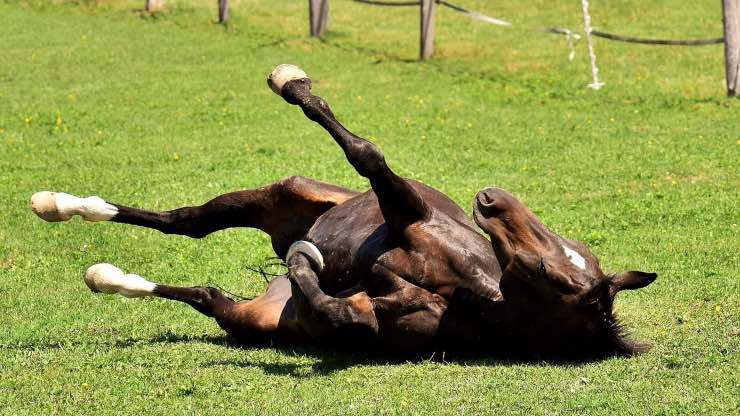 Cavallo che si rotola