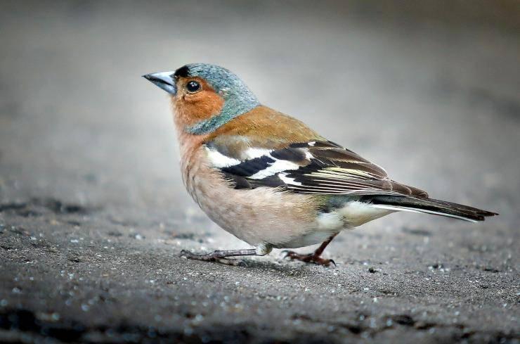 Uccelli più adatti ai bambini: Fringuello