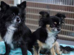 chihuahua migliori razze cani per inesperti