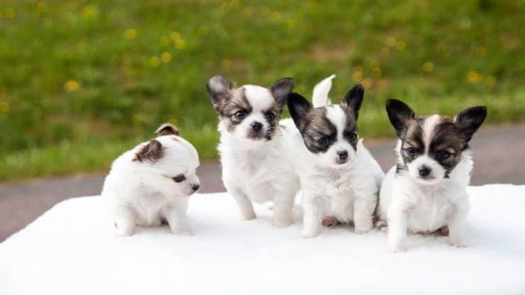 età evolutive cani cane chihuahua cuccioli