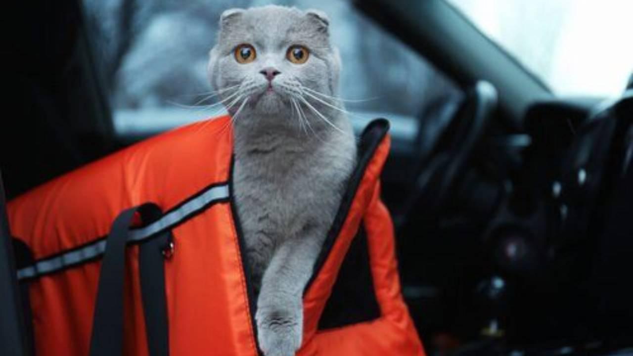 come trasportare il gatto nervoso in auto
