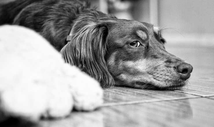 come trattare la labirintite nel cane