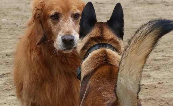 comunicazione tra cani