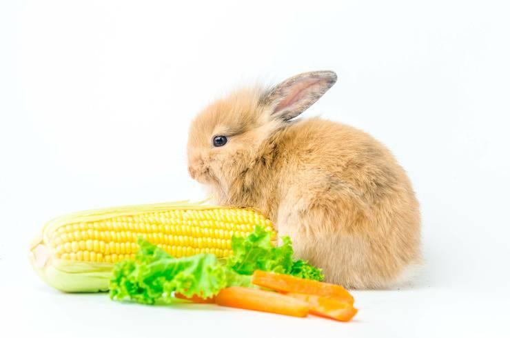 coniglio alimentazione