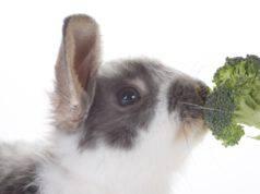 coniglio mangia broccoli
