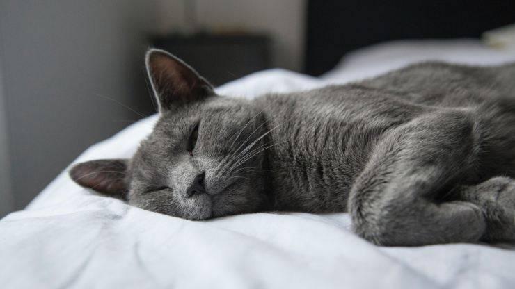 coriza del gatto
