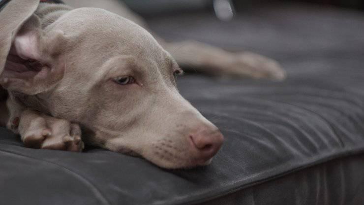 Qu'est-ce que la labyrinthite chez le chien et ses causes