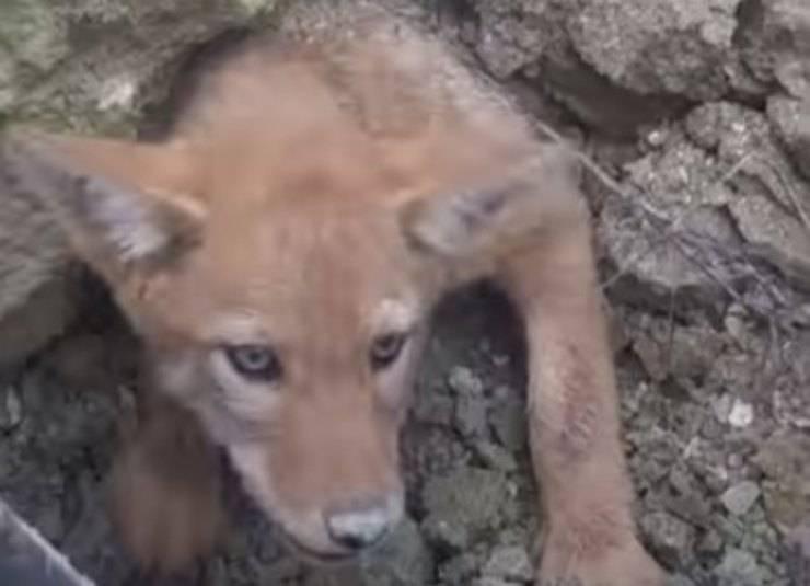 cucciolo coyote incastrato liberato operai