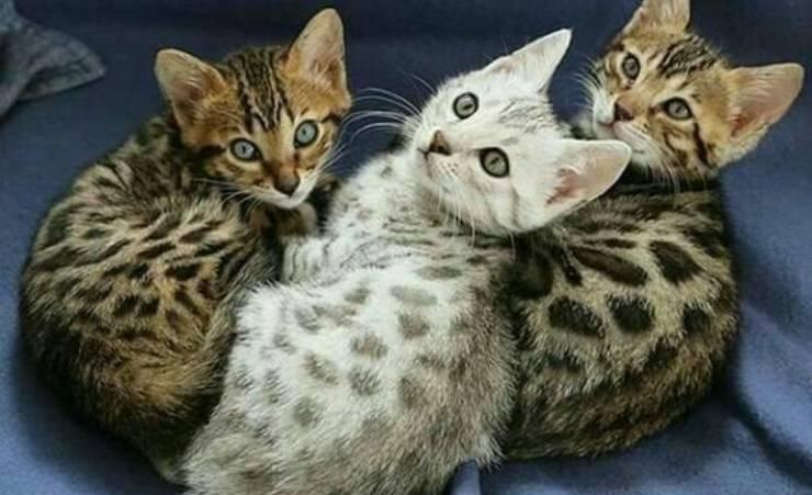 cuccioli Bengala