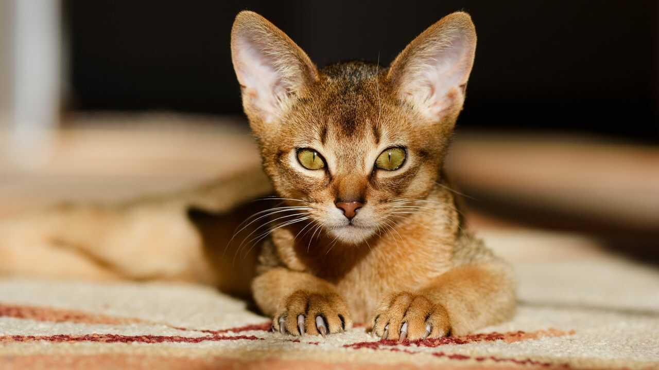 cura gatto abissino