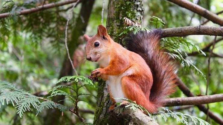 curiosità scoiattolo