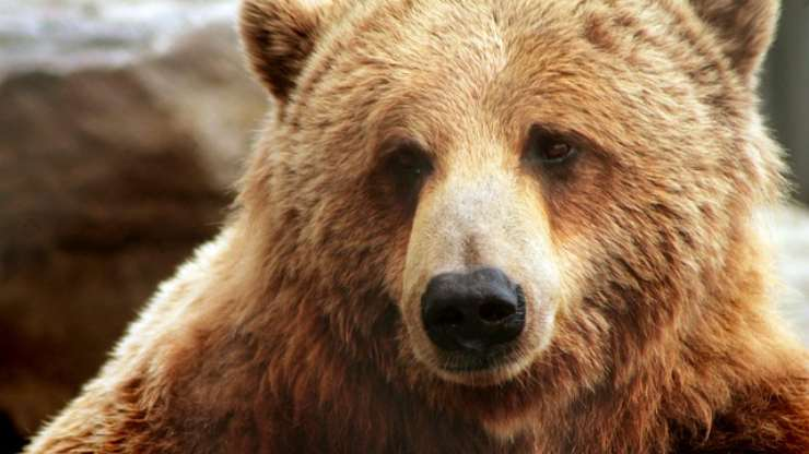 curiosità sull orso