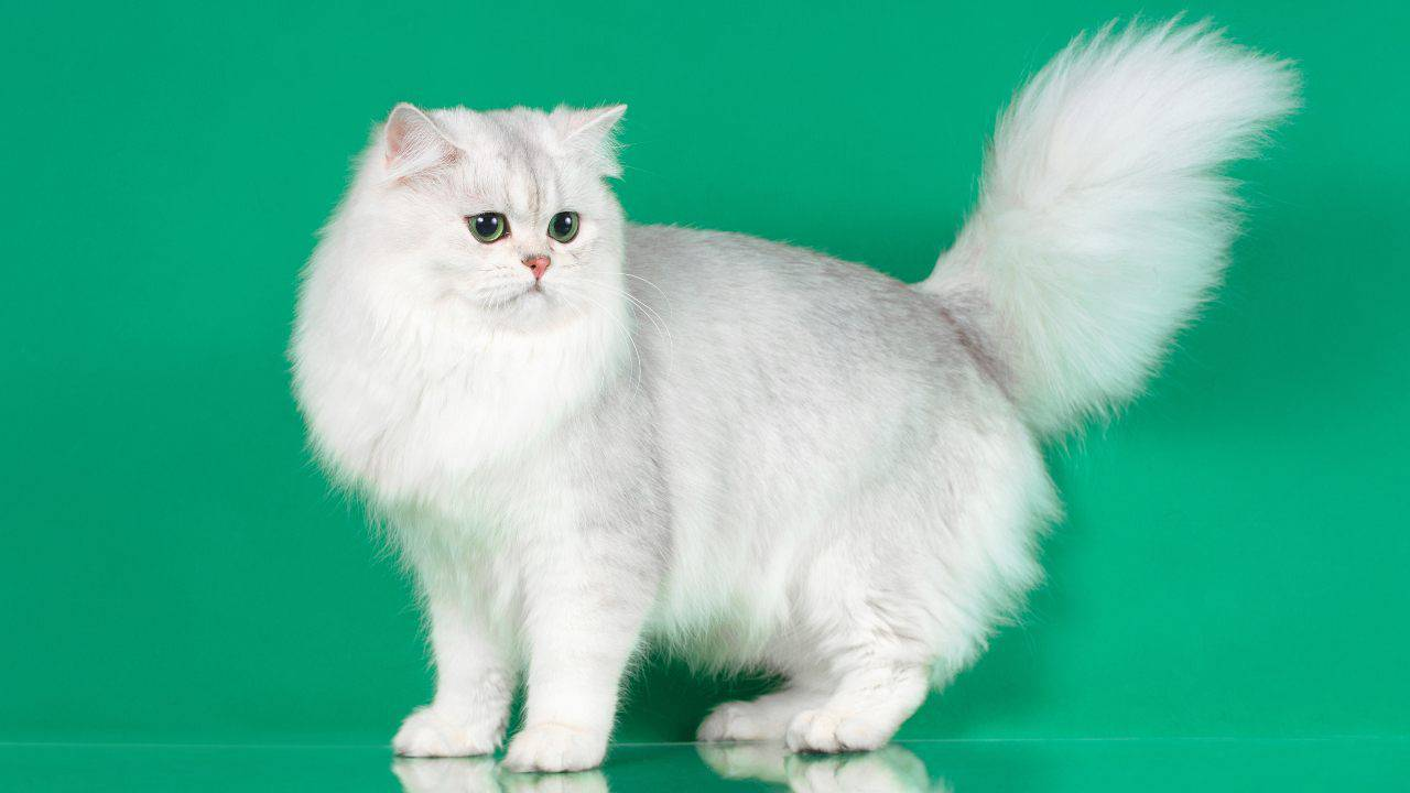 Differenza British Longhair Persiano